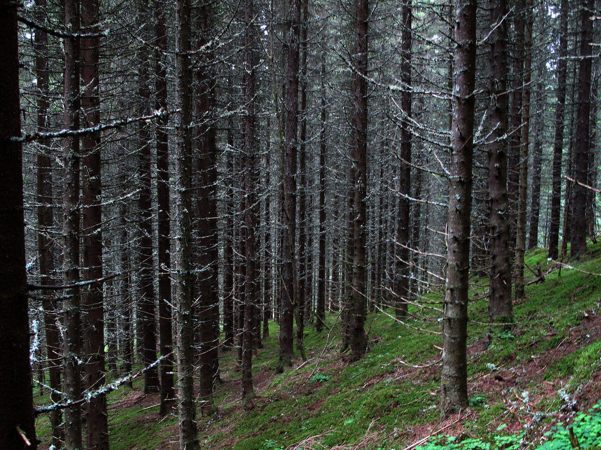 Fotografia przedstawia wnętrze boru świerkowego. Pnie ociemnej korze ilicznych suchych gałęziach stoją gęsto. Do dna lasu dociera niewiele światła, więc rosną nieliczne rośliny.