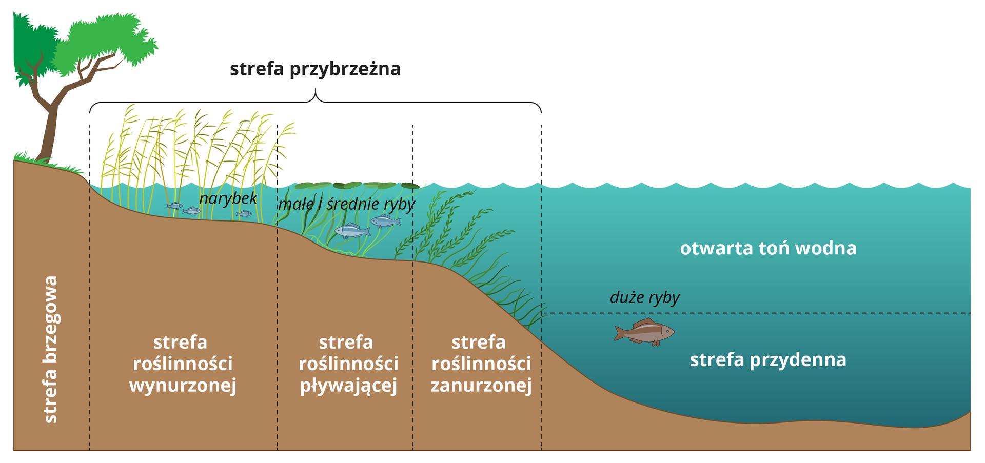 Ilustracja przedstawia przekrój prez brzegową część jeziora. Na tle wody zaznaczone strefy jeziora przybrzeżna, otwarta toń wodna istrefa denna.