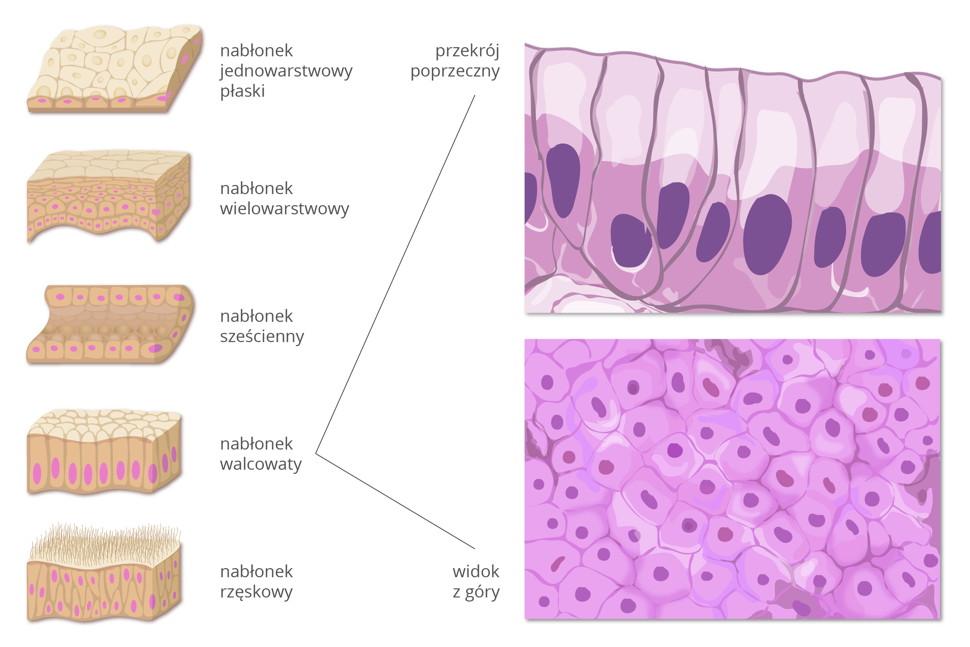 Ilustracja przedstawia grafikę idwa obrazy mikroskopowe. Widoczny przekrój poprzeczny, oraz widok zgóry tkanek nabłonka.Po lewej stronie pokazano pięć różnych typów nabłonka zpodpisami. Są wielokątne, różowe ściśle ułożone bryłki. Ciemniejszym kolorem zaznaczono jądra komórkowe. Od góry: nablównek jednowarstwowy płaski, nabłonek wielowarstwowy, nabłonek sześcienny, nabłonek walcowaty, nabłonek rzęskowy. Od nabłonka walcowatego kreski do obrazów mikroskopowych po prawej. Górny przedstawia walcowate, jasnofioletowe komórki pionowo ułożone obok siebie, zciemnofioletowo jądrami. Dolny oraz przedstawia widok zgóry. Wielokątne fioletowe komórki, ciasno ułożone, zzaznaczonym ciemniejszym jądrem.