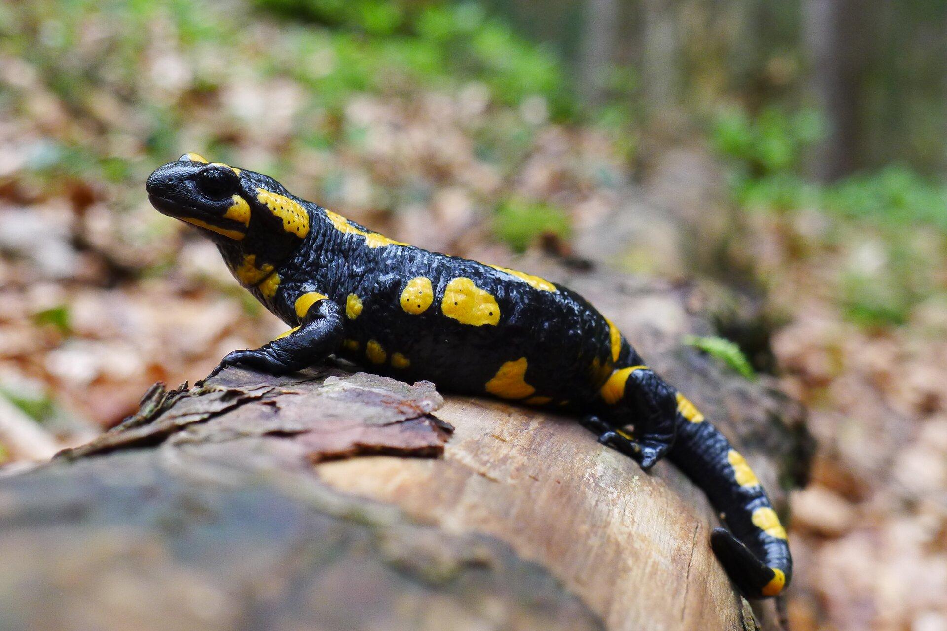 Salamandra plamista. Zwierzę ma krępe ciało czarne zżółtymi plamami onieregularnym kształcie. Na głowie duże czarne oczy. Kończyny są krótkie.
