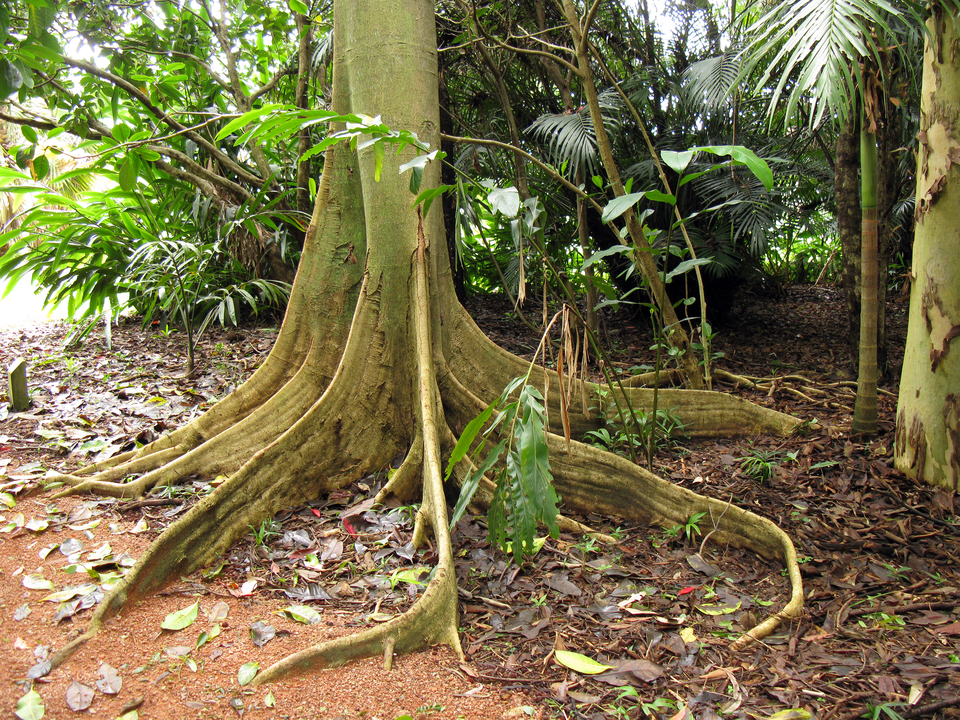 Fotografia przedstawia dół pnia drzewa, zodchodzącymi od niego promieniście spłaszczonymi częściami. Są to korzenie szkarpowe, podpierające drzewo.