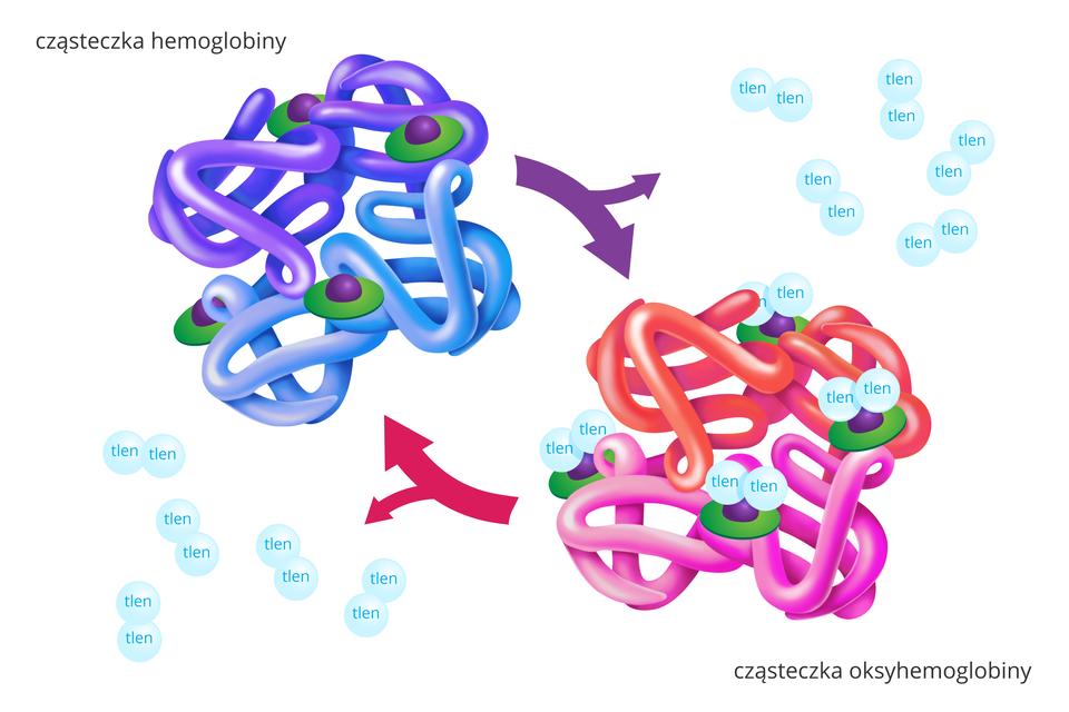 Ilustracja przedstawia cząsteczki chemiczne wformie kolorowych zwojów. Przy cząsteczkach błękitne kuleczki znapisem: tlen. Zlewej cząsteczka hemoglobiny. Składa się zdwóch zwojów fioletowych idwóch błękitnych. Na nich zielone tarcze zfioletowymi guzkami. Fioletowe strzałki ukosem wdół do tlenu icząsteczki oksyhemoglobiny. Ma dwa zwoje czerwone idwa różowe. Do guzków na tarczach przyczepione po dwie kuleczki tlenu. Od niej ukosem wgórę czerwona strzałka do hemoglobiny iwbok do tlenu.