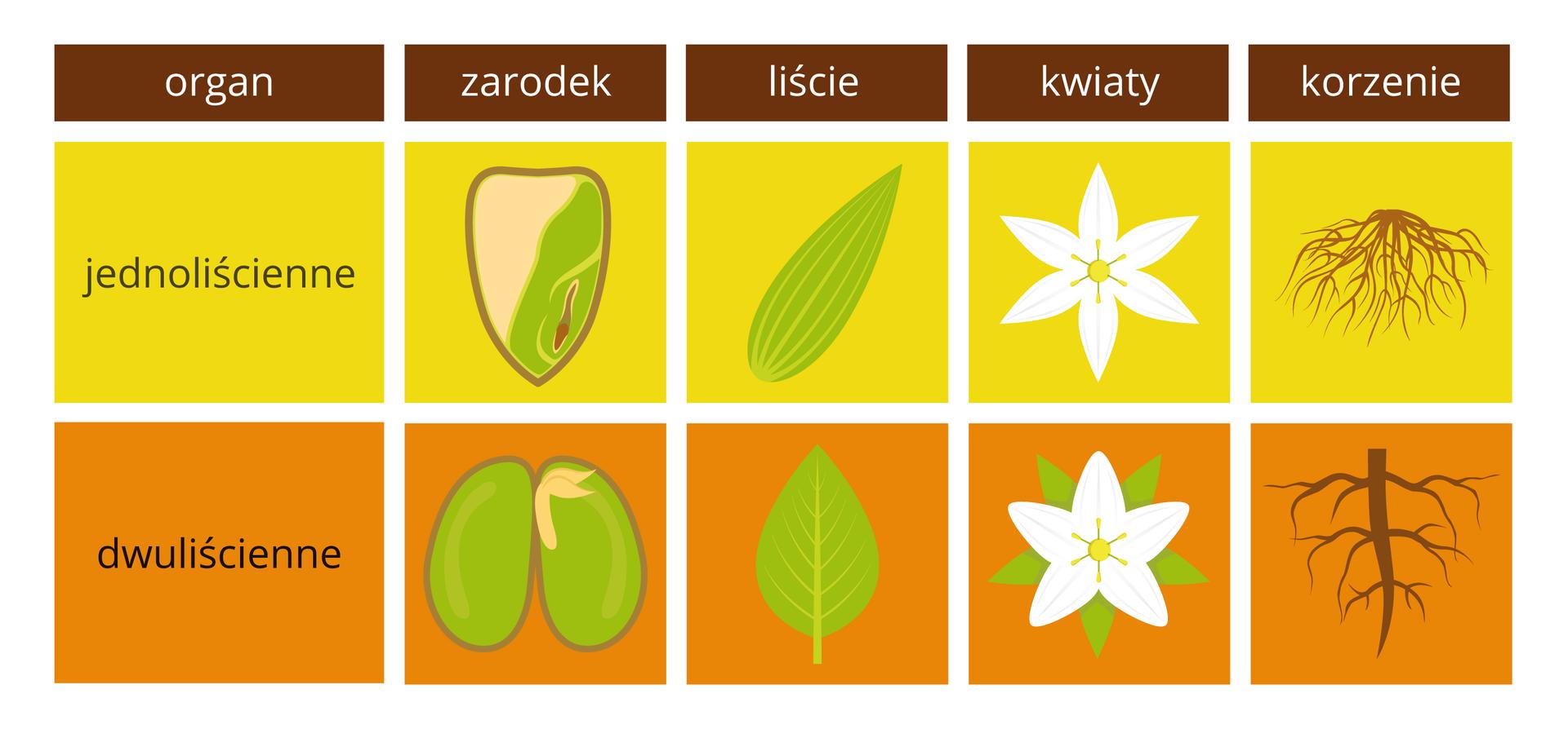 Ilustracja przedstawia porównanie cech roślin jednoliściennych (żółte prostokąty) idwuliściennych (pomarańczowe prostokąty) wformie tabeli. Ugóry wbrązowych prostokątach wypisano porównywane organy. Wżółtych ipomarańczowych kolumnach znajdują się rysunki organów roślin.