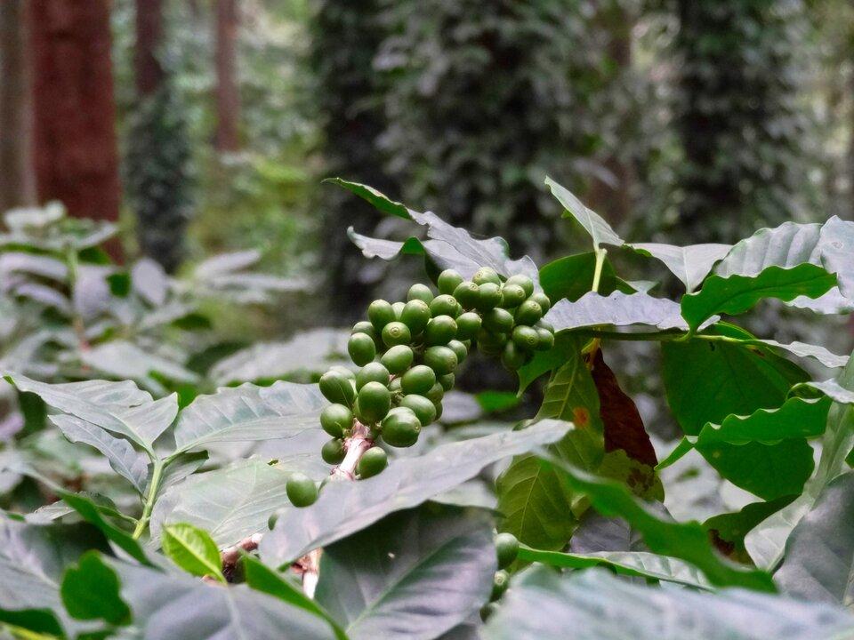Na zdjęciu niedojrzałe ziarna kawy rosnące na krzewie kawowym. Owalne zielone owoce rosnące na gałązce na krótkich ogonkach jeden przy drugim. Liście ciemnozielone, skórzaste, błyszczące.