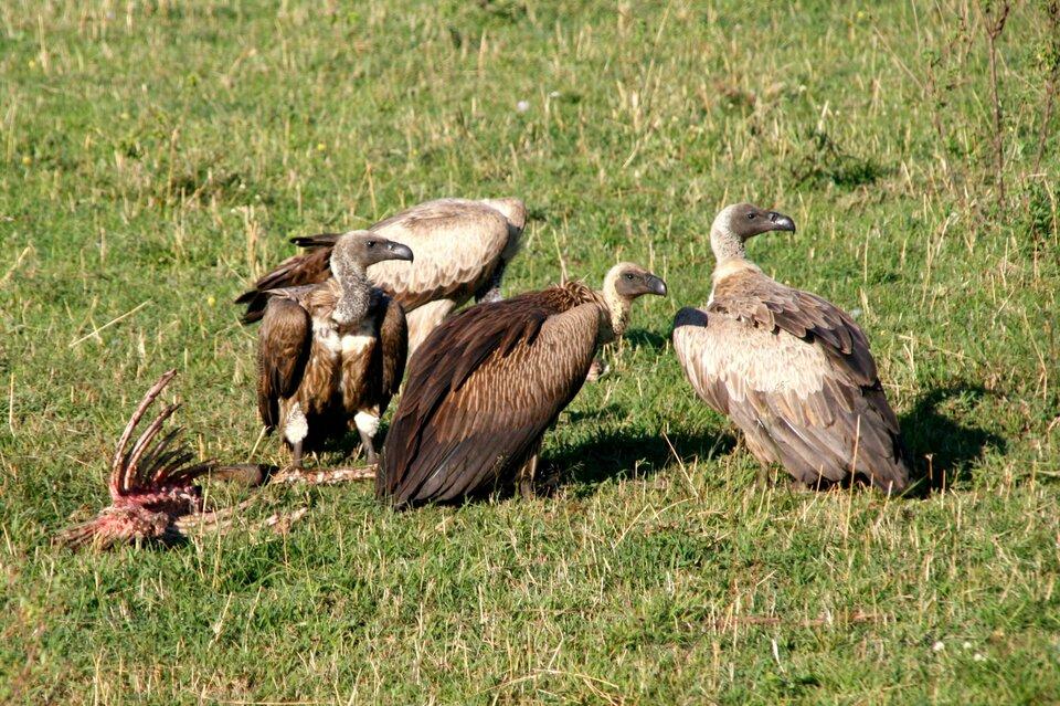 Fotografia przedstawia cztery duże, brązowe ptaki siedzące na trawie obok resztek szkieletu jakiegoś zwierzęcia. Są to sępy, które zjadają resztki zdobyczy dużych drapieżników.