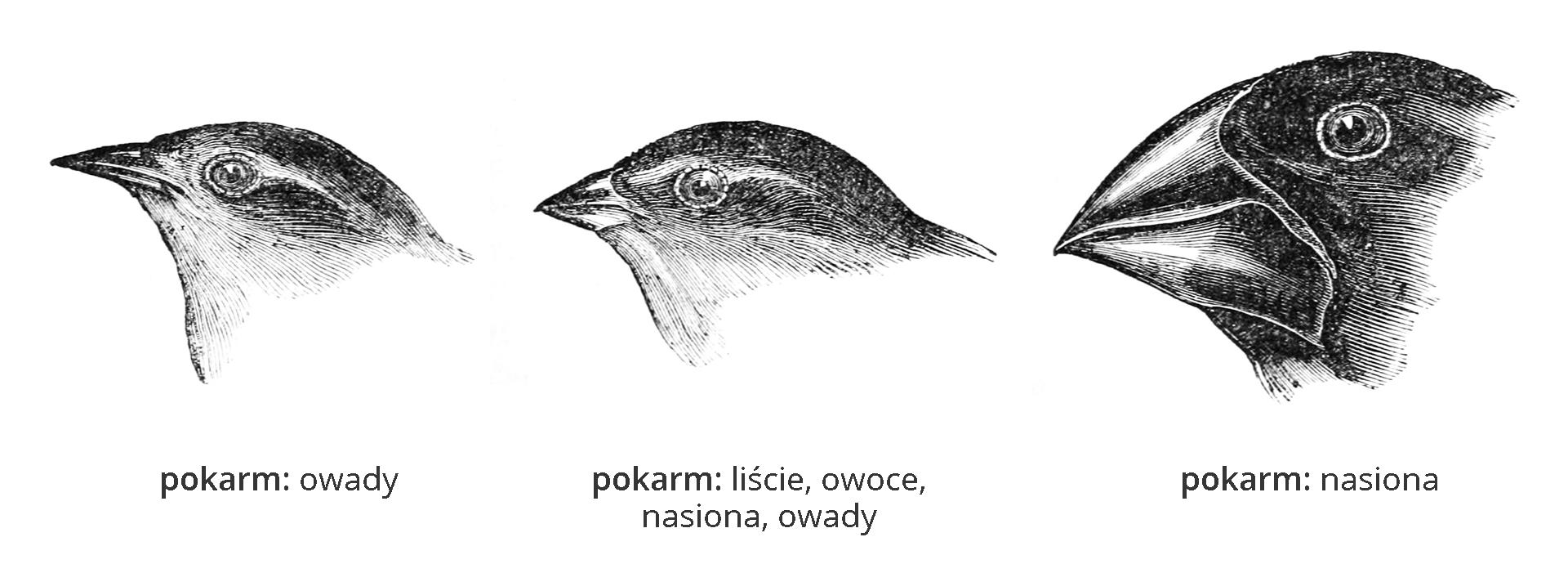 Ilustracja przedstawia rysunki trzech głów ptaków – zięb darwinek, skierowane wlewo. Pierwsza ma mały, cienki dziób ijest owadożerna. Dziób środkowej darwinki jest krótki igruby. Jej pokarm to liście, owoce, nasiona, owady. Ostatnia ma dużą głowę imocny, szeroki dziób. Żywi się twardymi nasionami.