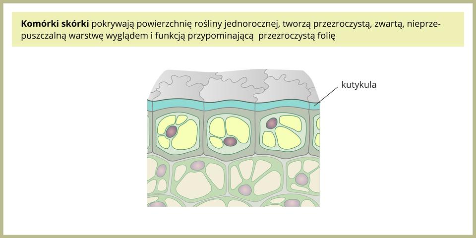 Ilustracja przedstawia komórki skórki, okrywającej powierzchnię rośliny jednorocznej. Tworzą one przezroczystą izwartą, nieprzepuszczlną warstwę wyglądem ifunkcją przypominającą przezroczystą folię.