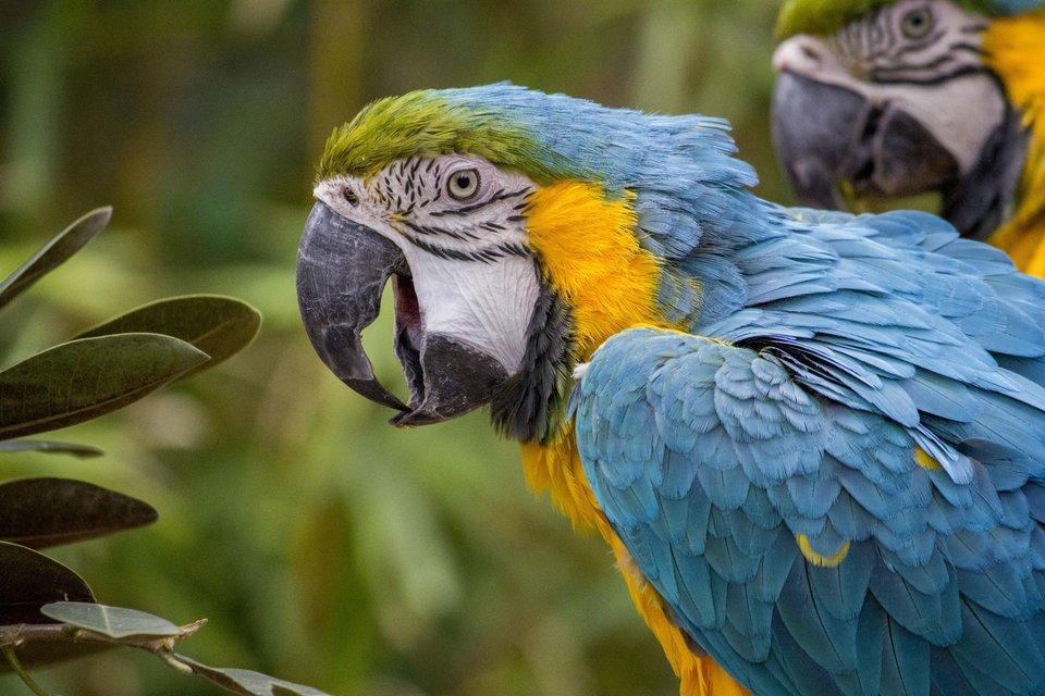 Papuga ara Źródło: Papuga ara, licencja: CC 0.