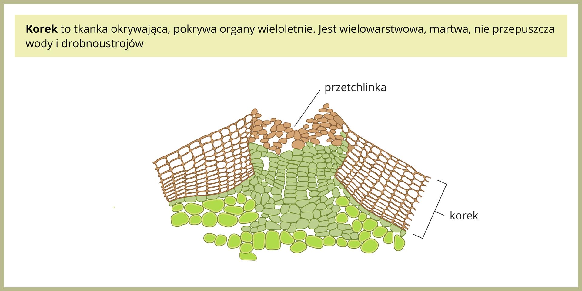 Ilustracja przedstawia budowę wewnętrzną tkanki korkowej.
