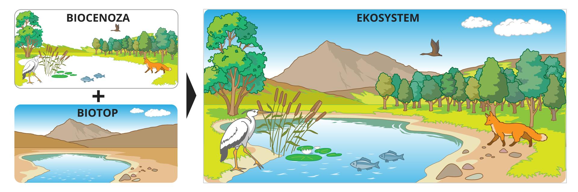 Dwie ilustracje przedstawiają składniki ekosystemu. Górna ilustracja przedstawia biocenozę – część nieożywioną, do której należą: rośliny, zwierzęta, grzyby iinne organizm. Dolna ilustracja przedstawia biotop – część nieożywioną, do której należą: skały, kamienie, wody, różne formy terenu. Biocenoza plus biotop na jednej ilustracji, po prawej stronie, tworzą ekosystem. Oba składniki ekosystemu oddziałują wzajemnie na siebie.