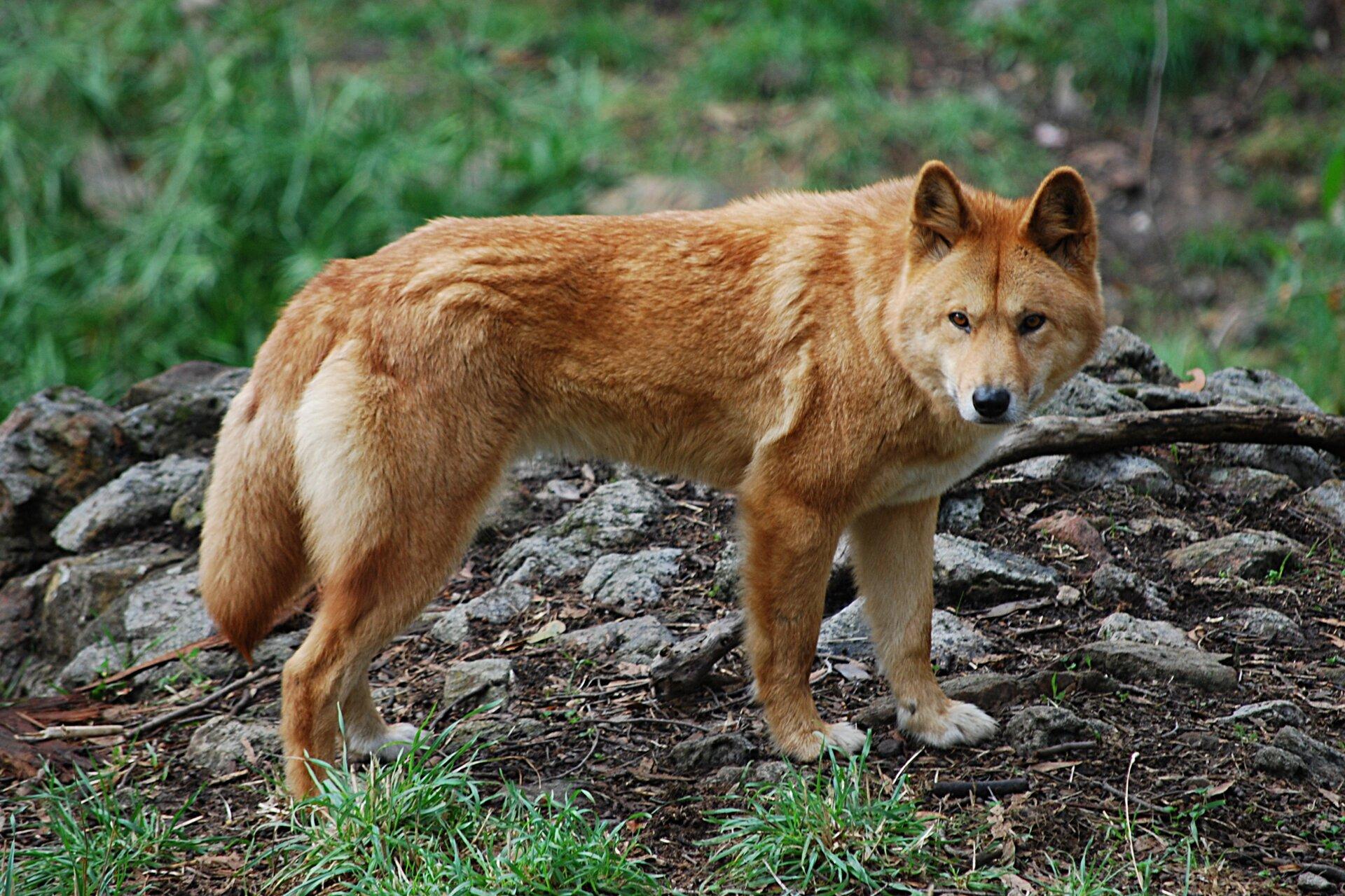 Na zdjęciu pies ogęstej rudej sierści, długi ogon.