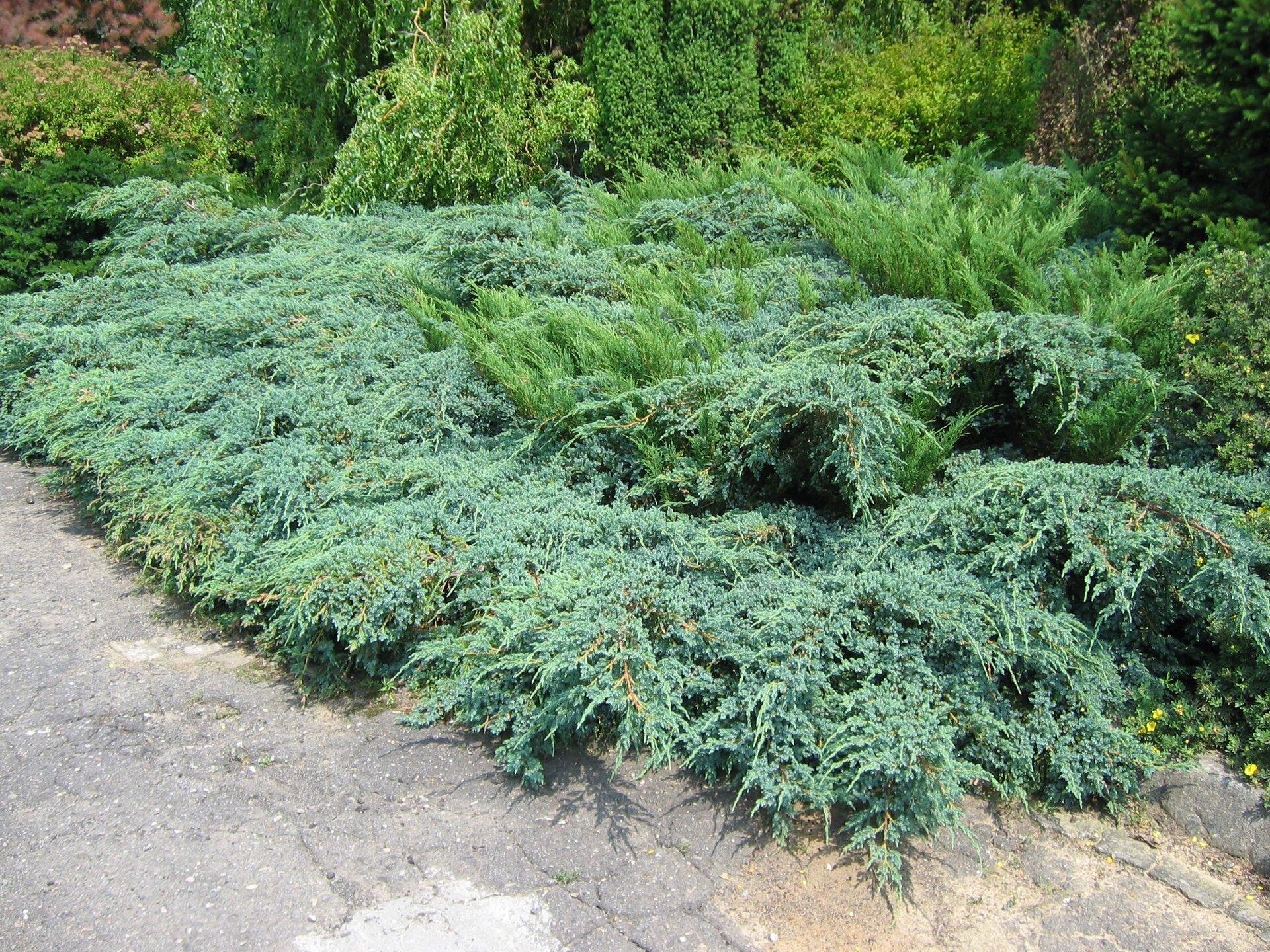 Fotografia przedstawia niebieskozielone kępy jałowca odmiany płożącej wskalnym ogrodzie. Jego pędy rosną poziomo, blisko ziemi. Za jałowcami znajdują się inne krzewy idrzewa.