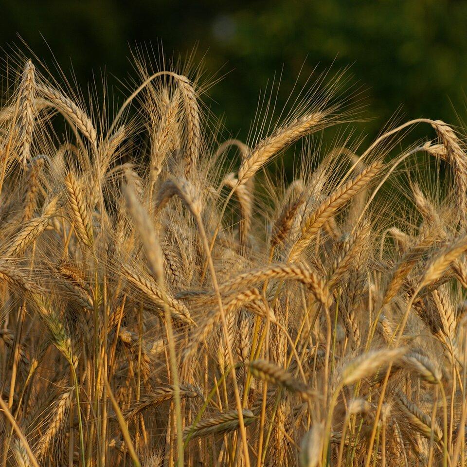 Fotografia prezentuje źdźbła pszenicy rosnącej na polu.