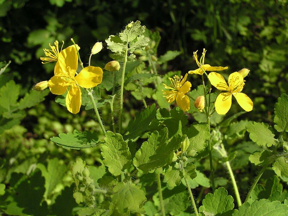 Na zdjęciu drugim kwitnący na żółto glistnik jaskółce ziele.