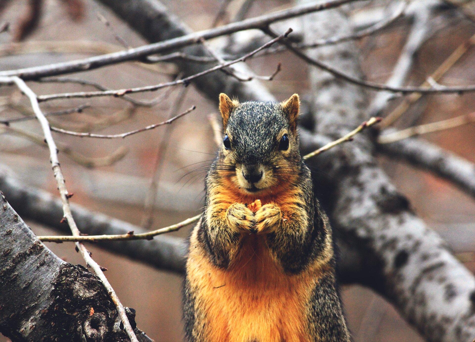 wiewiórka Źródło: domena publiczna.