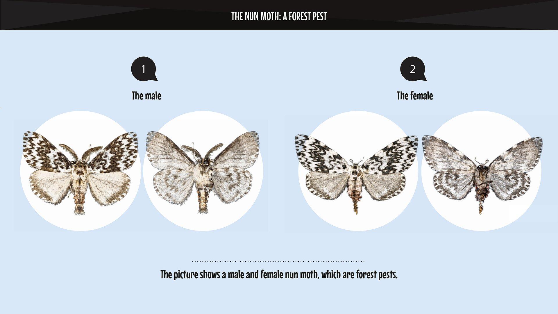 The photo presents amale and female nun moth, which are forest pests. Zdjęcie przedstawia szkodnika - brudnica mniszka: samca isamicę.