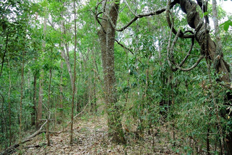 Na zdjęciu przesuszony las monsunowy. Rzadkie liście na drzewach ikrzewach, suche liście na ziemi.
