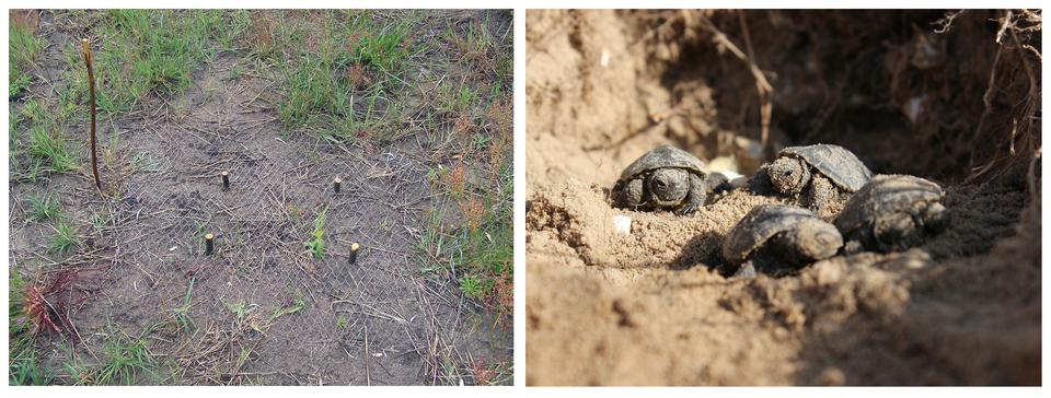 Fotografia przedstawiająca ochronę czynną gniazd żółwia błotnego, poprzez osłanianie ich siatkami, które są zdejmowane po wykluciu młodych