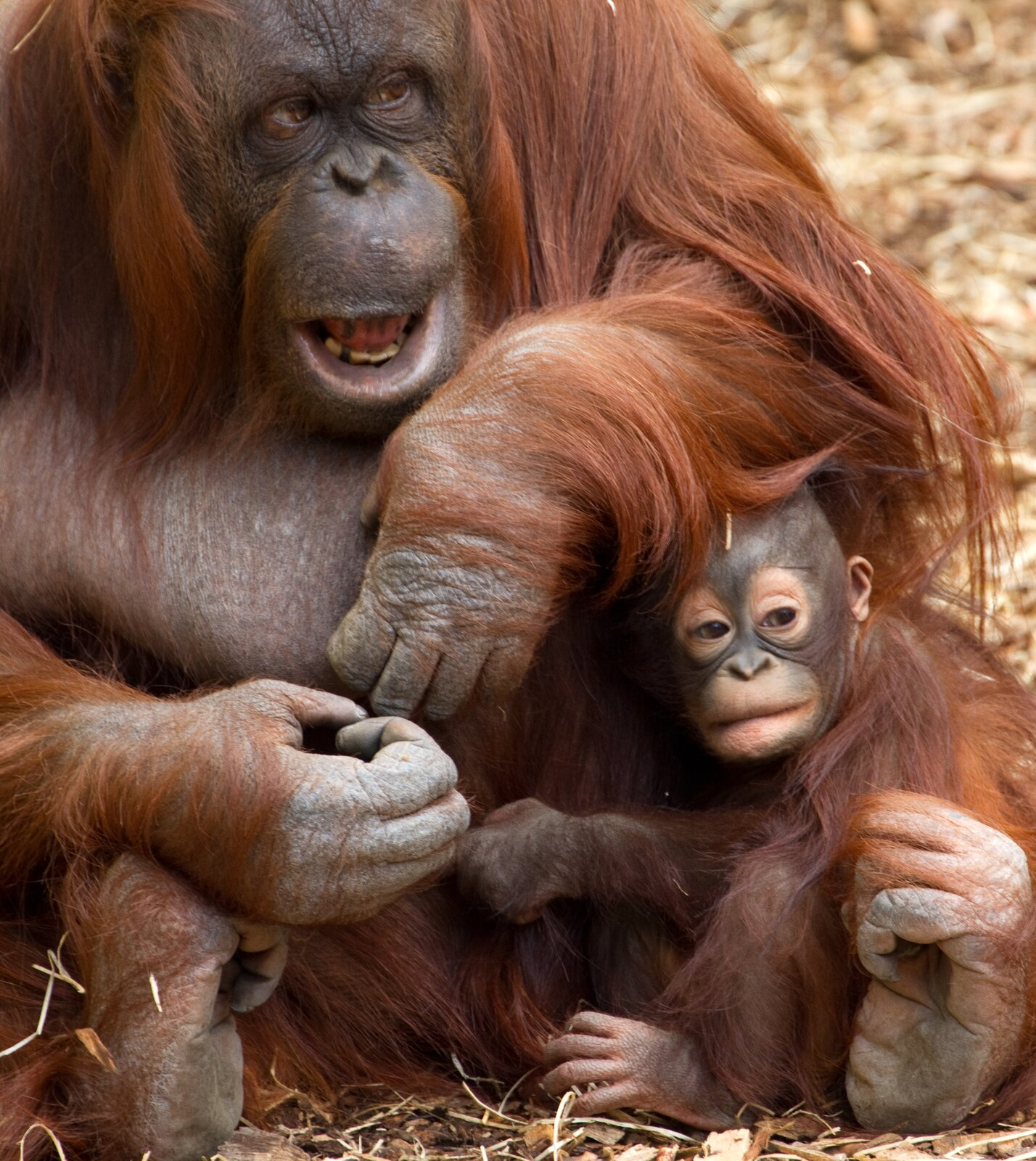 Fotografia przedstawia rudą samicę orangutana zdwoma młodymi. Samica siedzi wtrawie iprzygarnia młode do siebie długimi rękami. Maluchy orangutana trzymają się matki, ale rozglądają na boki.