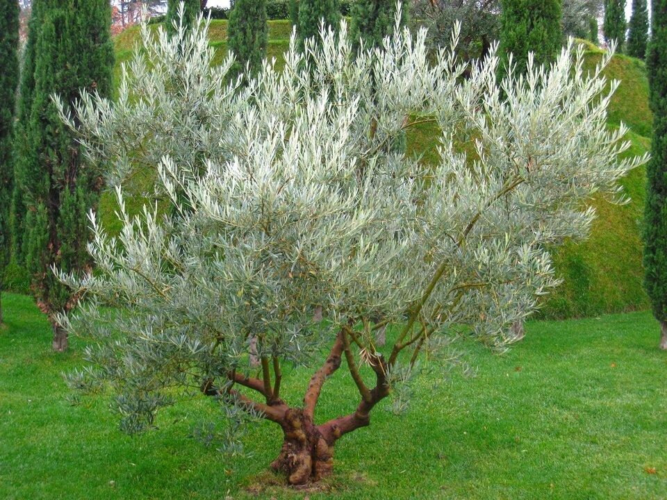 Drzewko oliwne Drzewko oliwne Źródło: Daderot, fotografia barwna, domena publiczna.