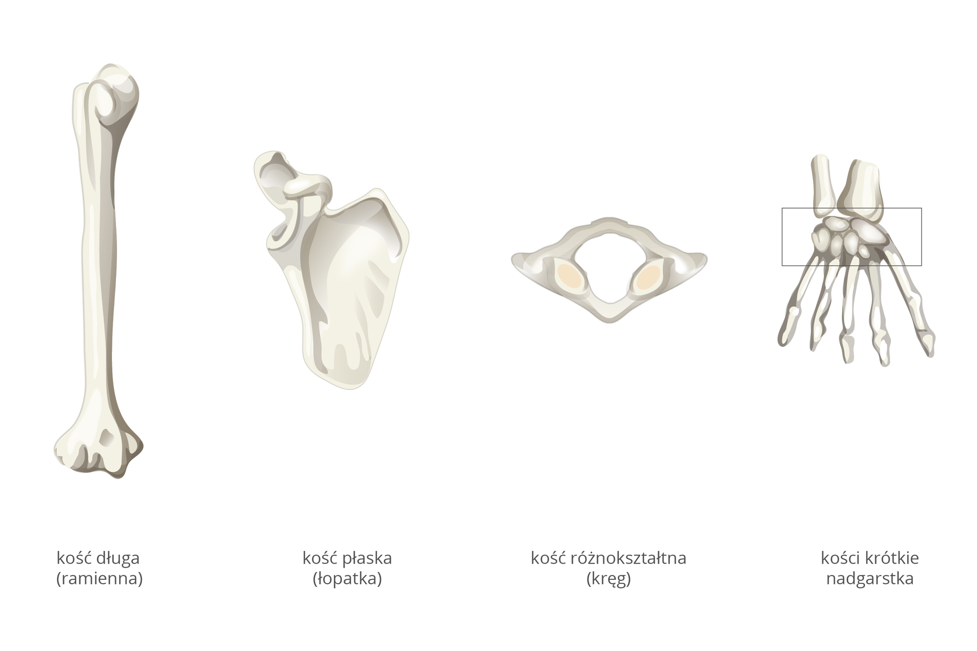 Ilustracja przedstawia cztery elementy szkieletu wkolorze szarym. Wten sposób ukazano różne rodzaje kości. Od lewej pionowo kość długa (tu: ramienna). Ma rurkowaty trzon, azobu stron grubsze nasady. Kolejna kość to kość płaska (tu: łopatka). Jest szeroka ispłaszczona, azlewej ma grube wyrostki. Obok kość różnokształtna wformie rombu zotworem wśrodku. To jeden zkręgów. Po prawej kości ręki idłoni. Ramka wskazuje nadgarstek, awnim czworokątne kości krótkie.