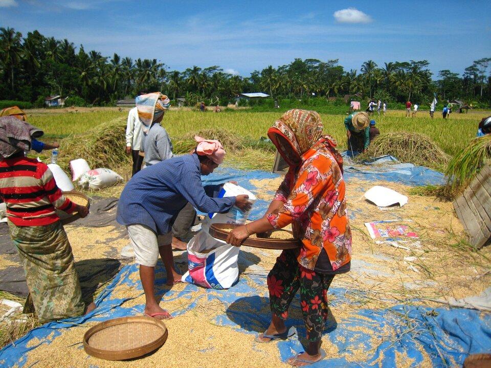 Na zdjęciu pole ryżowe, na pierwszym planie rozłożona folia, na niej ziarenka ryżu, ludzie wkolorowych strojach, turbanach na głowach przesiewają ryż na dużych sitach ipakują do worków.