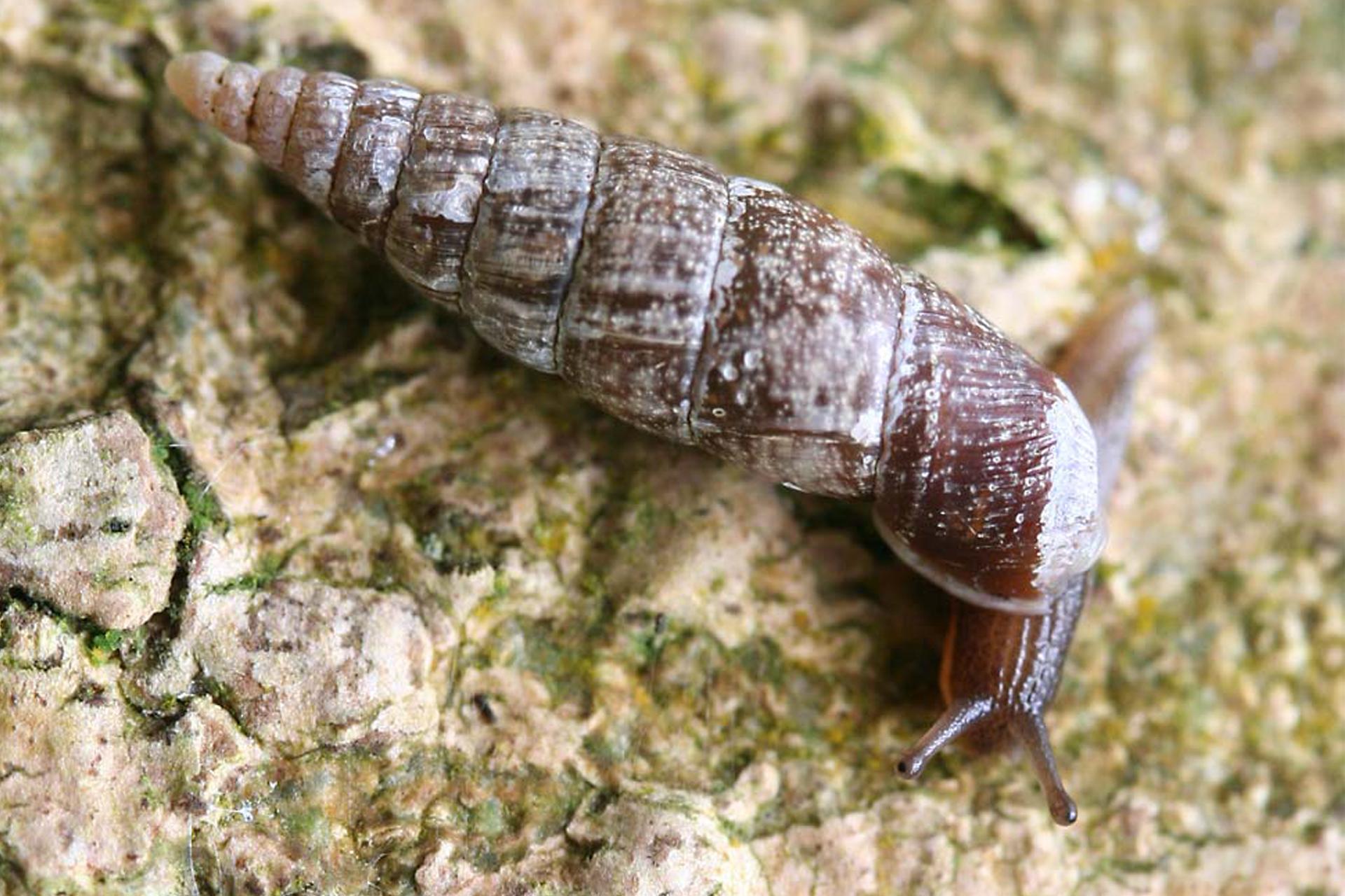 Wgalerii znajdują się fotografie przedstawicieli krajowych ślimaków. Fotografia przedstawia brązowego ślimaka zwydłużoną brązowo – szarą muszlą. Głową ma skierowaną wdół. To świdrzyk pospolity.