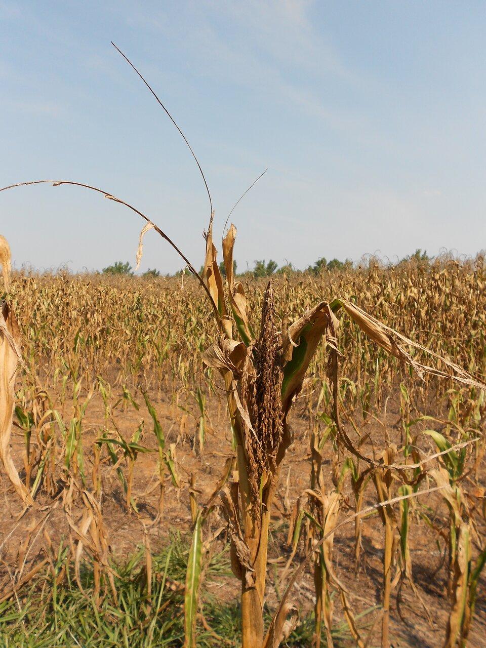 Kolorowe zdjęcie przedstawia pole wysuszonej kukurydzy. Słoneczny dzień. Dolna połowa zdjęcia to wysuszona gleba na polu. Na polu pionowo rosnąca kukurydza. Na pierwszym planie pojedyncza kukurydza zwysuszonym kwiatem. Liście brązowe, pozwijane do wewnątrz. Na drugim planie pole obrośnięte do połowy wyschniętymi łodygami kukurydzy. Liście kukurydzy brązowe. Wewnętrzna część liści zielona. Kwiaty wyschnięte na końcu łodygi kukurydzy.