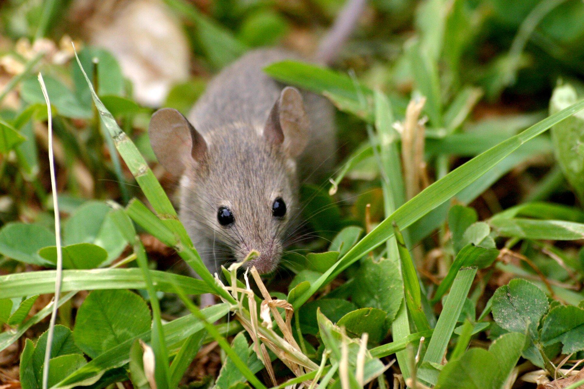 Fotografia przedstawia wzbliżeniu polną mysz na ziemi. Jest ruda zciemnym pasem na grzbiecie. Głowa wprawo, duże oko, małe, zaokrąglone różowe uszy. Długi ogon bez włosów, szary. Spod brzucha wystaje długa stopa tylnej kończyny.