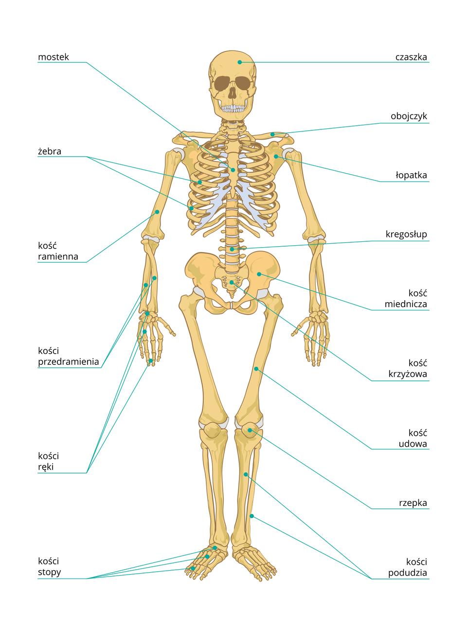 Ilustracja prezentuje szkielet człowieka. Szkielet składa się ze szkieletu osiowego, czyli kręgosłupa oraz osadzonej na nim czaszki. Kręgosłup połączony jest zżebrami, które razem zmostkiem, tworzą klatkę piersiową. Kończyny górne połączone są zkręgosłupem za pomocą obręczy barkowej, która składa się zobojczyków iłopatek. Wskład kończyn górnych wchodzą: kość ramienna, parzyste kości przedramienia oraz kości dłoni. Kończyny dolne połączone są zkręgosłupem za pomocą kości miednicy. Kończyny dolne składają się z: kości udowych, parzystych kości podudzia oraz kości stóp.