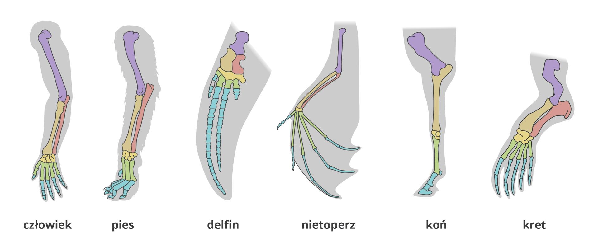 Ilustracja przedstawia 6 schematycznie narysowanych kończyn przednich ssaków zwrysowanym szkieletem. Kolory oznaczają różne kości. Ten sam kolor wkażdej zkończyn oznacza tę samą kość szkieletu. Kości kończyn pionowo, na tle szarego zarysu kształtu kończyny. Od lewej kończyny: człowieka, psa, delfina, nietoperza, konia ikreta.