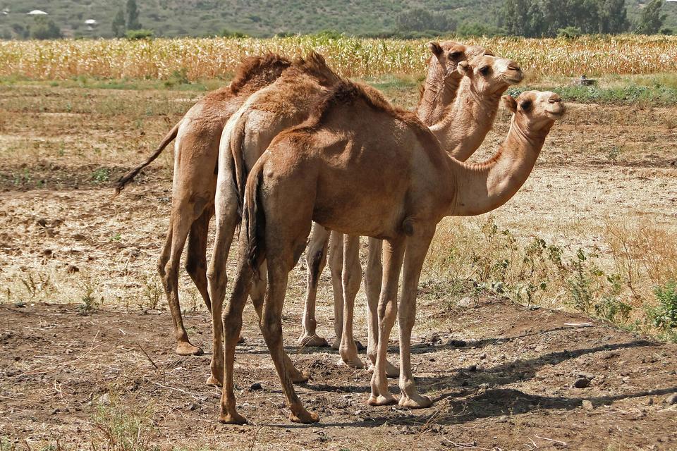 Szósta fotografia prezentuje trzy stojące bokiem do siebie wielbłądy.
