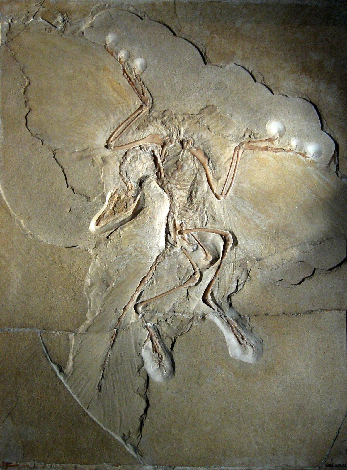 Fotografia przedstawia odcisk praptaka wszaro- żółtej skale. Ugóry znajdują się zarysy skrzydeł: piór ikości. Zlewej wdół ukosem trójkątna czaszka na długiej, cienkiej szyi. Pod nią odcisk pierzastego ogona. Obok odciski kości kończyn dolnych.