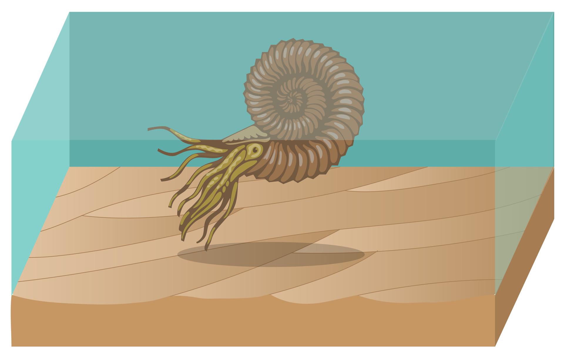 Rysunek przedstawia brązowego amonita wbłękitnej wodzie nad brązowym, pofalowanym dnem morza. Amonit ma spiralną, pierścieniowatą muszlę, oczy iliczne czułki.