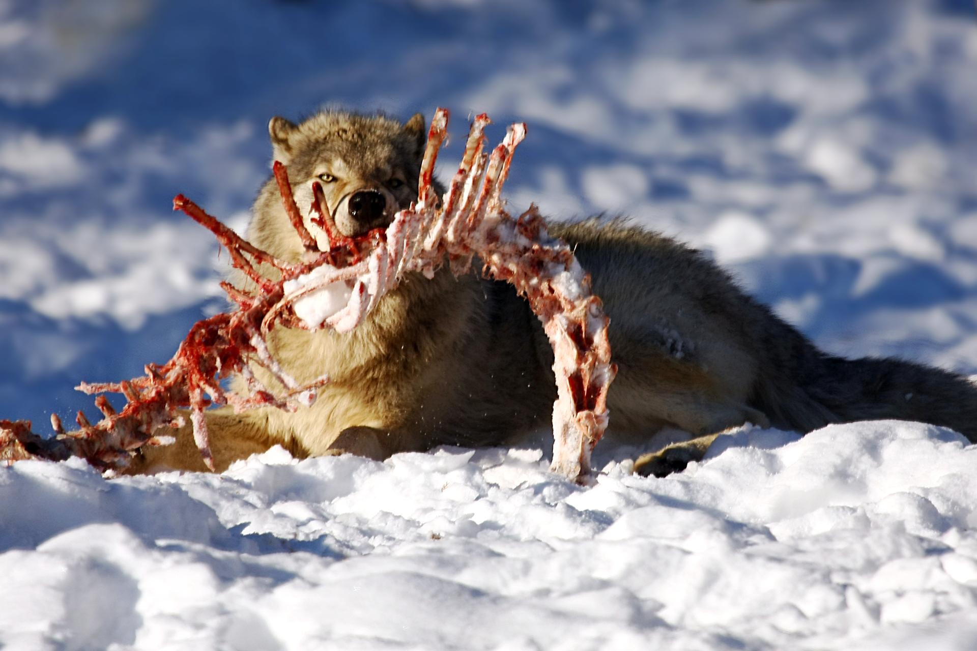Fotografia przedstawia beżowego, leżącego na śniegu drapieżnika. Wpysku trzyma resztki ofiary: kręgosłup zżebrami. Na obgryzionych kościach znajdują się jeszcze czerwone ochłapy mięsa.