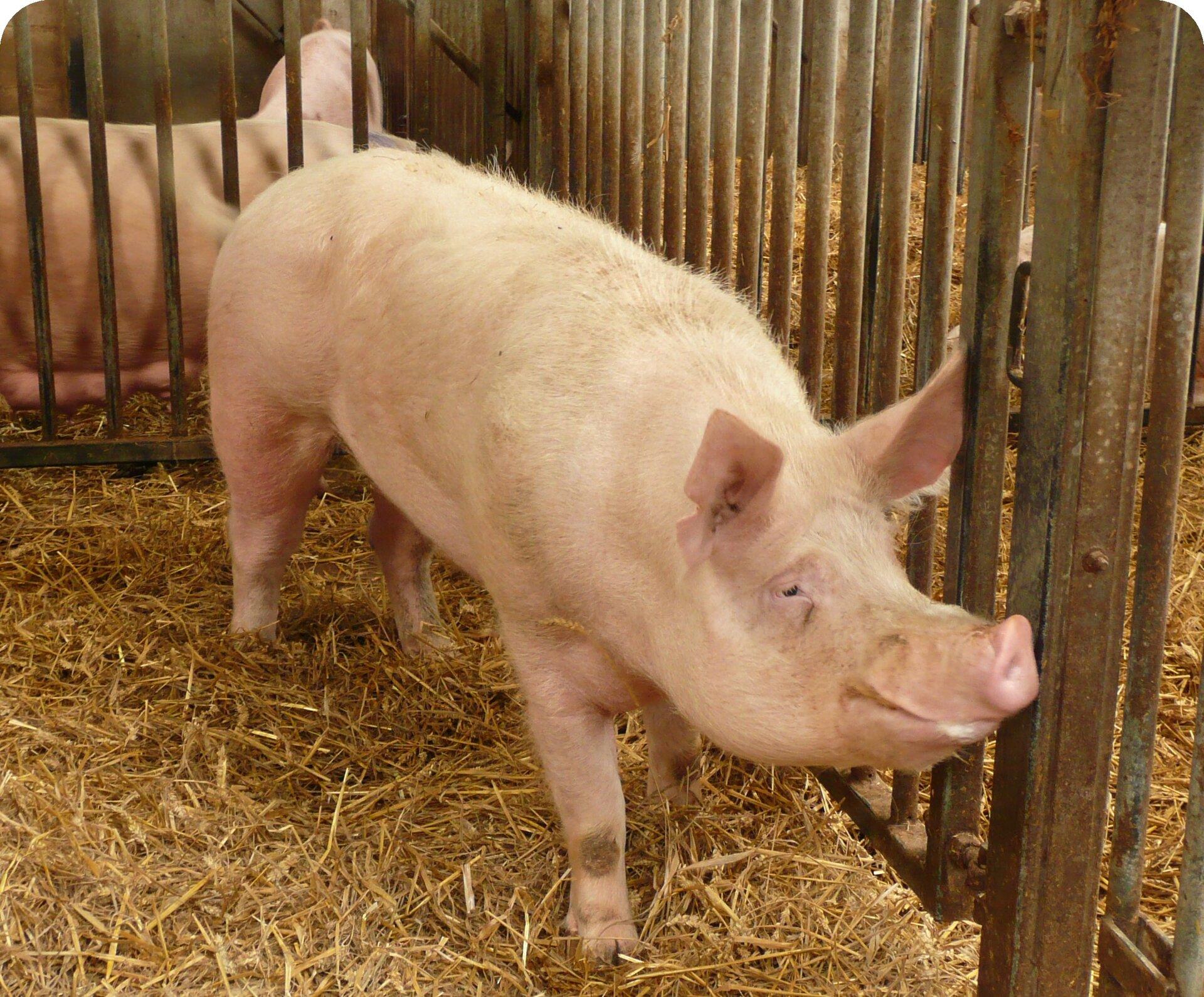 Fotografia przedstawia wzbliżeniu świnię od przodu. Zwierzę ma różowe ciało, jest niskie. Głowa duża.