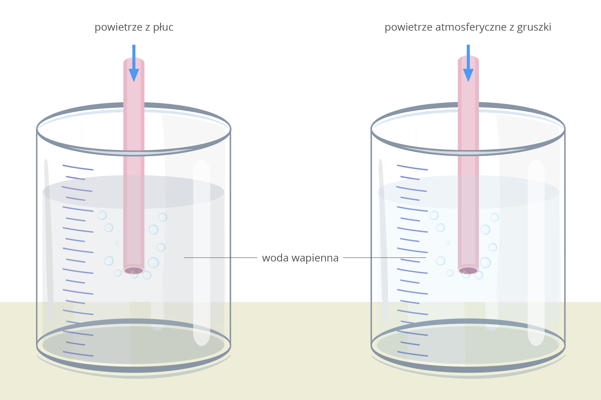 Ilustracja przedstawia dwa naczynia szklane zwodą wapienną. Do każdego wprowadzona jest różowa rurka. Do lewej wdmuchiwane jest powietrze zpłuc, do prawej powietrze atmosferyczne zgumowej gruszki.