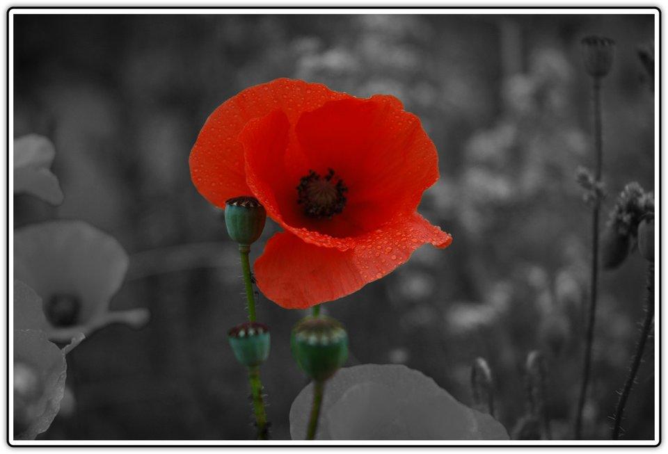 Fotografia przedstawiająca czerwony kwiat maku na tle szarej fotografii