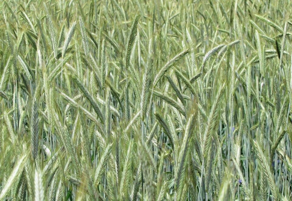 Na zdjęcie pole żyta, zielone kłosy.