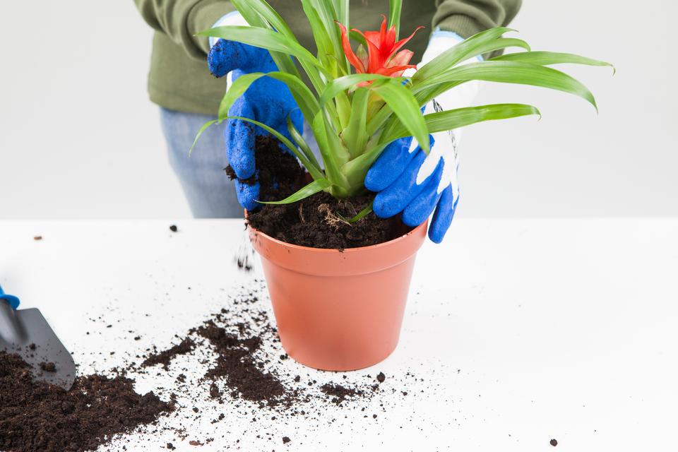Slajd 6 – roślina zostaje włożona do przygotowanej doniczki, anastępnie zostaje dosypana ziemia.