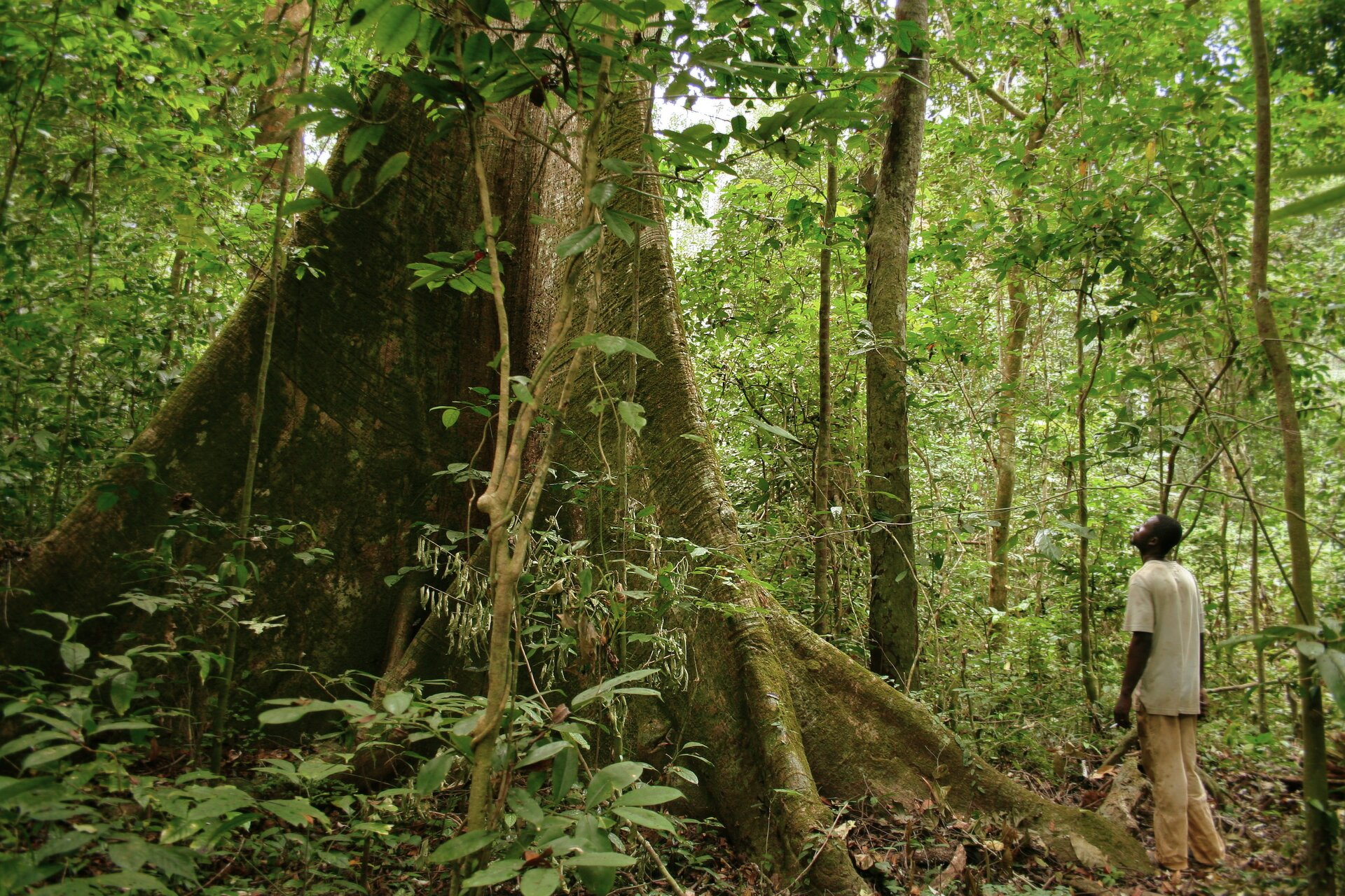 Fotografia przedstawia wnętrze lasu równikowego. Rośnie tu wiele drzew ocienkich pniach ijasnozielonych liściach. Na ziemi ipo pniach wiją się pędy bluszczu. Wcentrum szeroko rozłożona, trójkątna podstawa pnia potężnego puchowca pięciopręcikowego. Obok wielkiego pnia stoi człowiek wbrązowym stroju ikapeluszu. Kobieta jest mniejsza niż jedna ze szczelin wpniu puchowca.