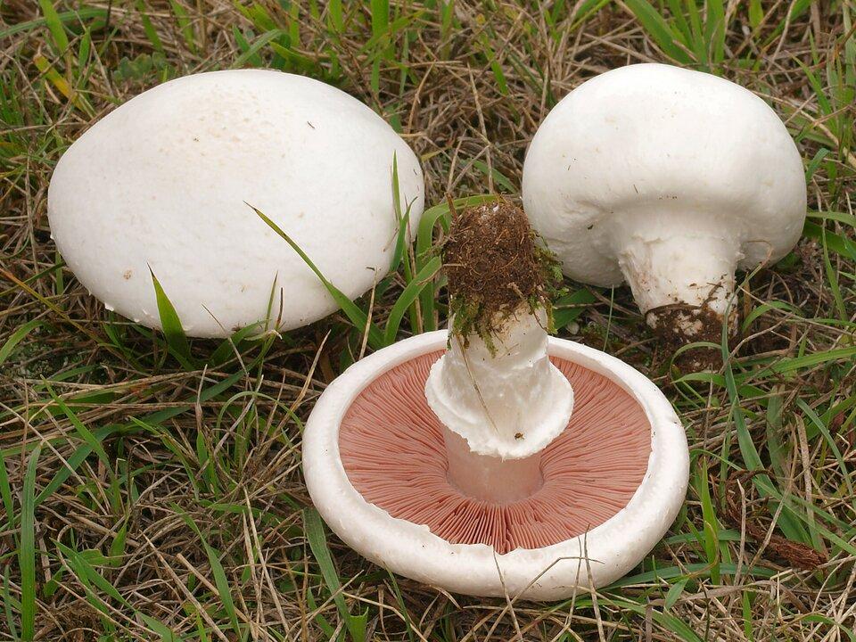 Na zdjęciu trzy białe grzyby zblaszkami pod spodem kapelusza.