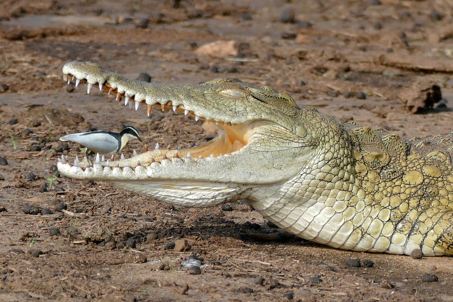 Fotografia prezdstawia krokodyla zwróconego bokiem. Krokodyl ma otwartą paszczę, Wpaszczy stoi mały ptak czyściciel.