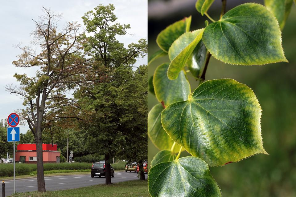 Zdjęcie przedstawiające skutki zasolenia widoczne na drzewach wpasach przyulicznych, po lewej stronie widać nagie drzewo, pozbawione liści, obok zbliżenie na żółte liście.
