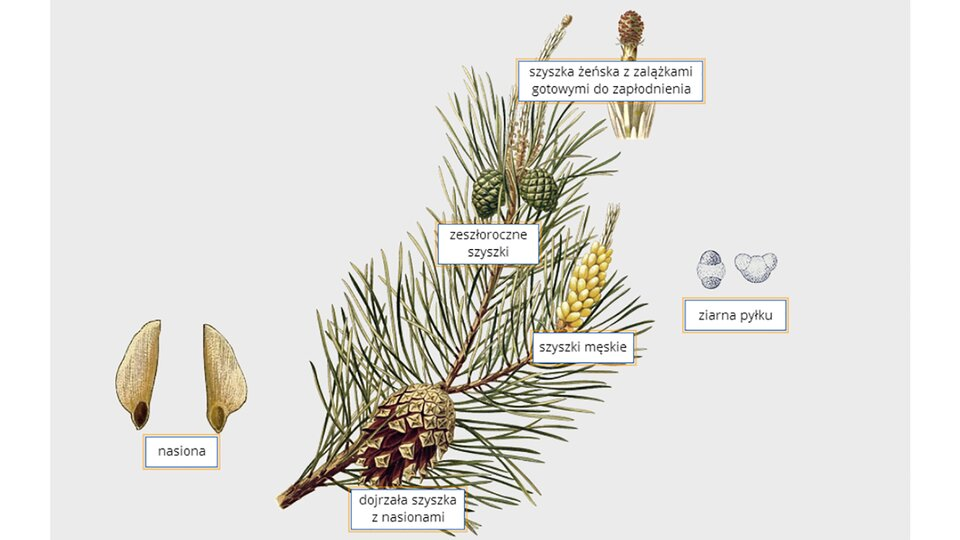 Ilustracja przedstawia pęd sosny zigłami iszyszkami. Po lewej dwa nasiona sosny. Ugóry szyszka żeńska. Po prawej dwa ziarna pyłku. Obok żółta szyszka męska.