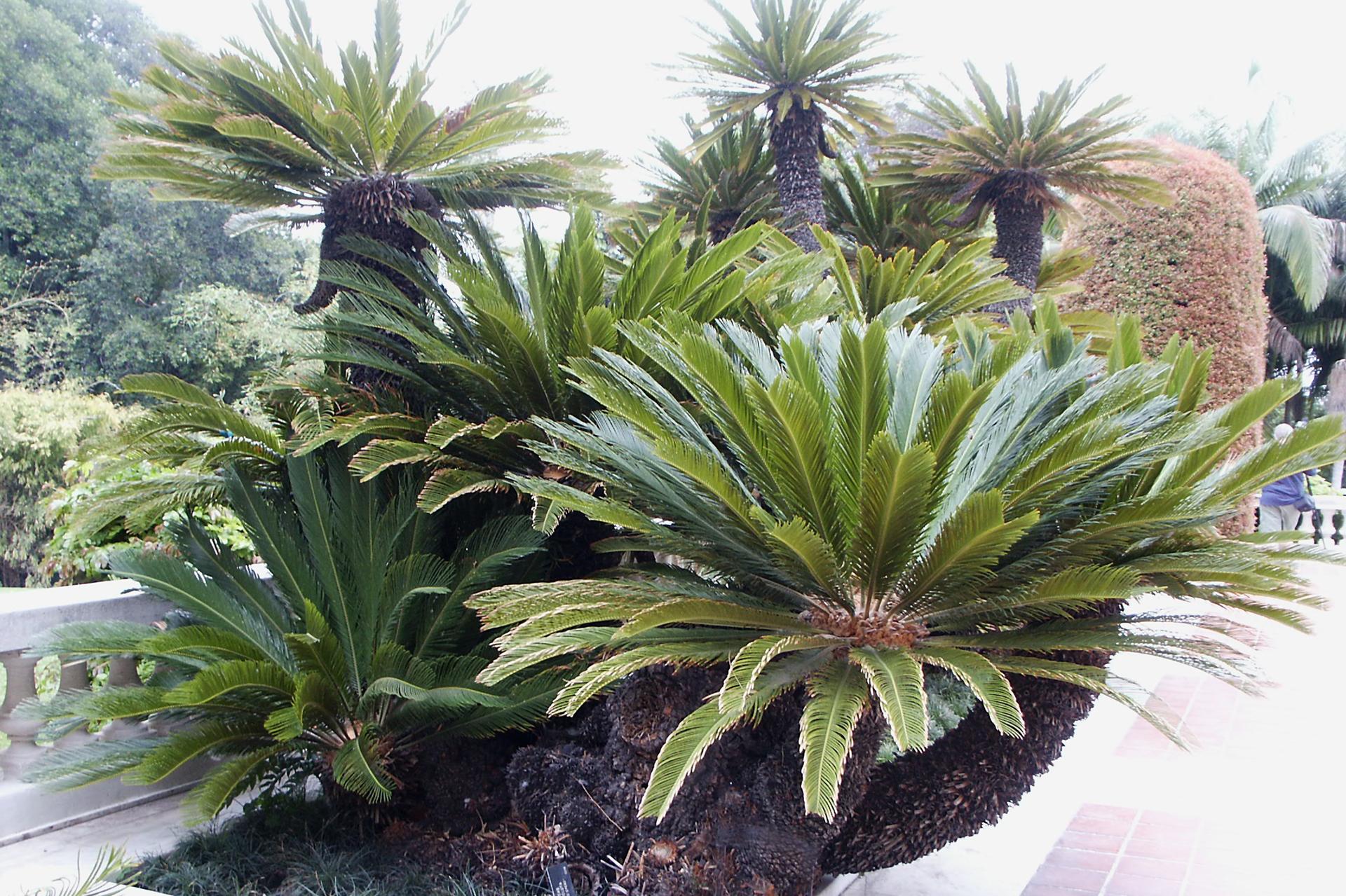 Fotografia przedstawia kilka roślin ociemnobrązowych łodygach ipióropuszach pierzastych liści. To sagowce, tu hodowane na tarasie, ale są też składnikami naturalnych ekosystemów. Wtle inne drzewa.