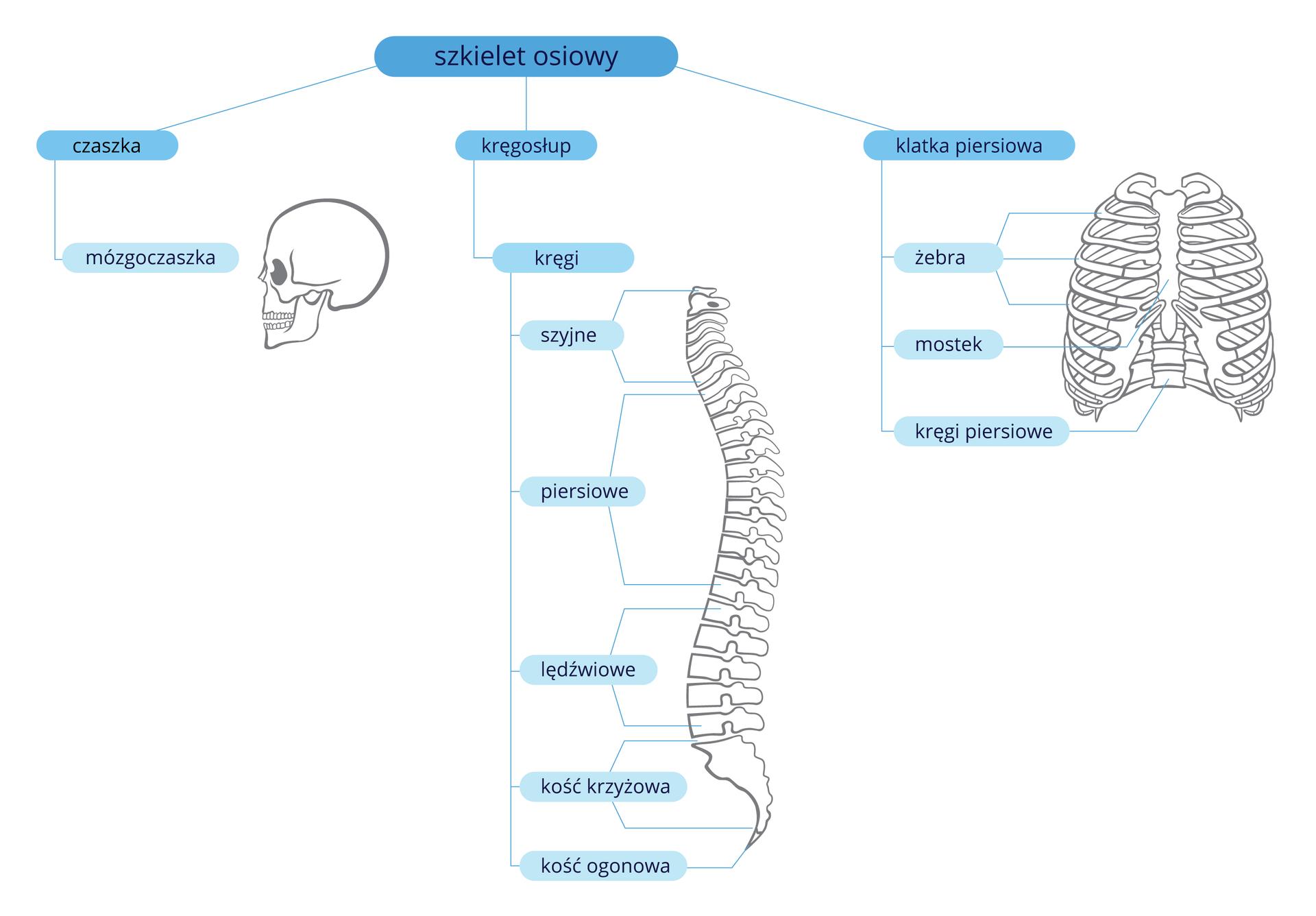 Schemat przedstawia strukturę szkieletu osiowego. Wyróżniono czaszkę, kręgosłup iklatkę piersiową.