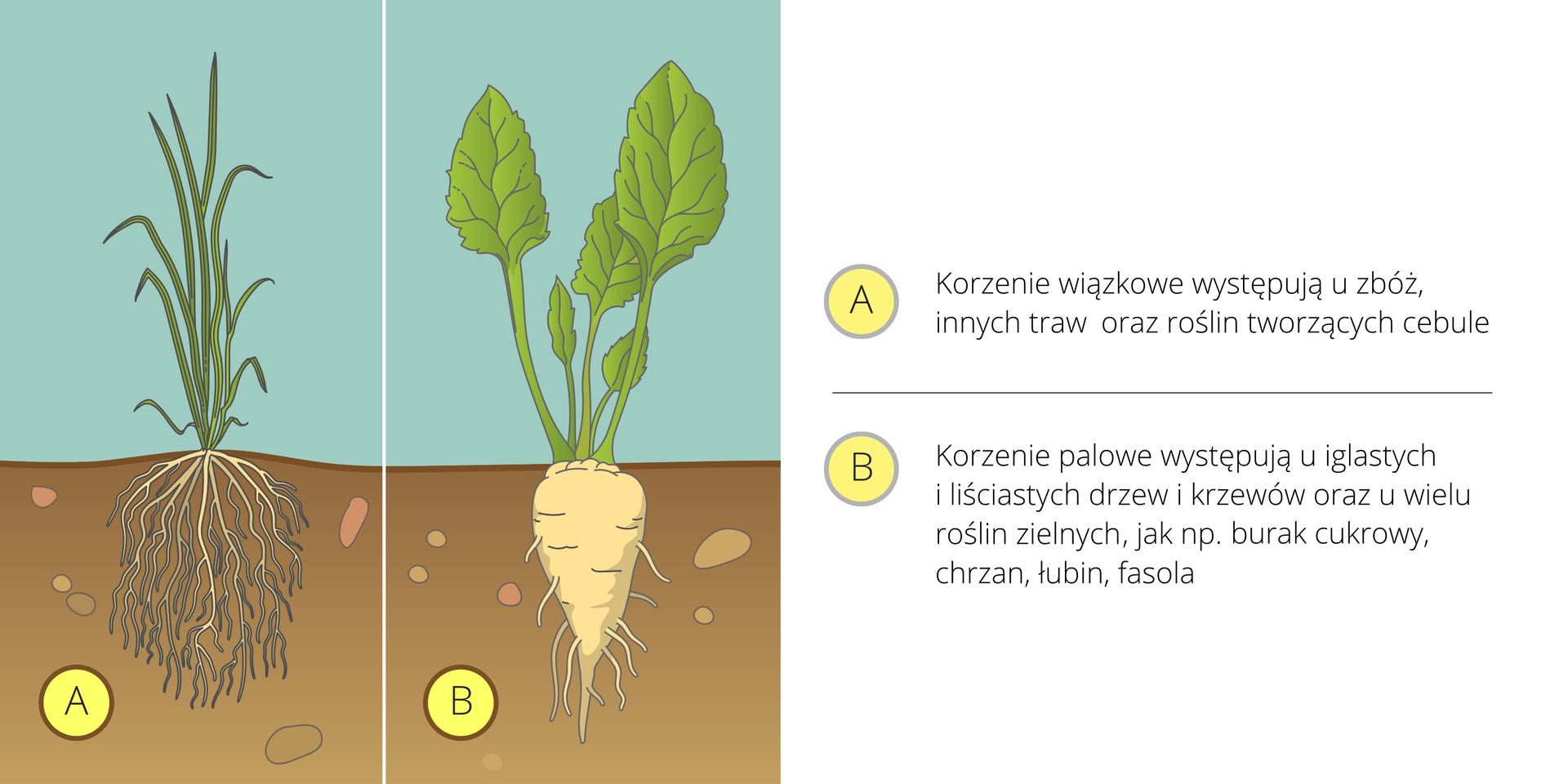 Ilustracja przedstawia dwie rośliny obok siebie na tle, symbolizującym atmosferę iglebę. Pierwsza zlewej ma długie, wąskie ciemnozielone liście iwiązkę białych korzeni, oznaczoną literą A. Druga ma duże, jajowate, jasnozielone liście igruby, biały korzeń, oznaczony literą B. Obok znajdują się opisy korzeni.