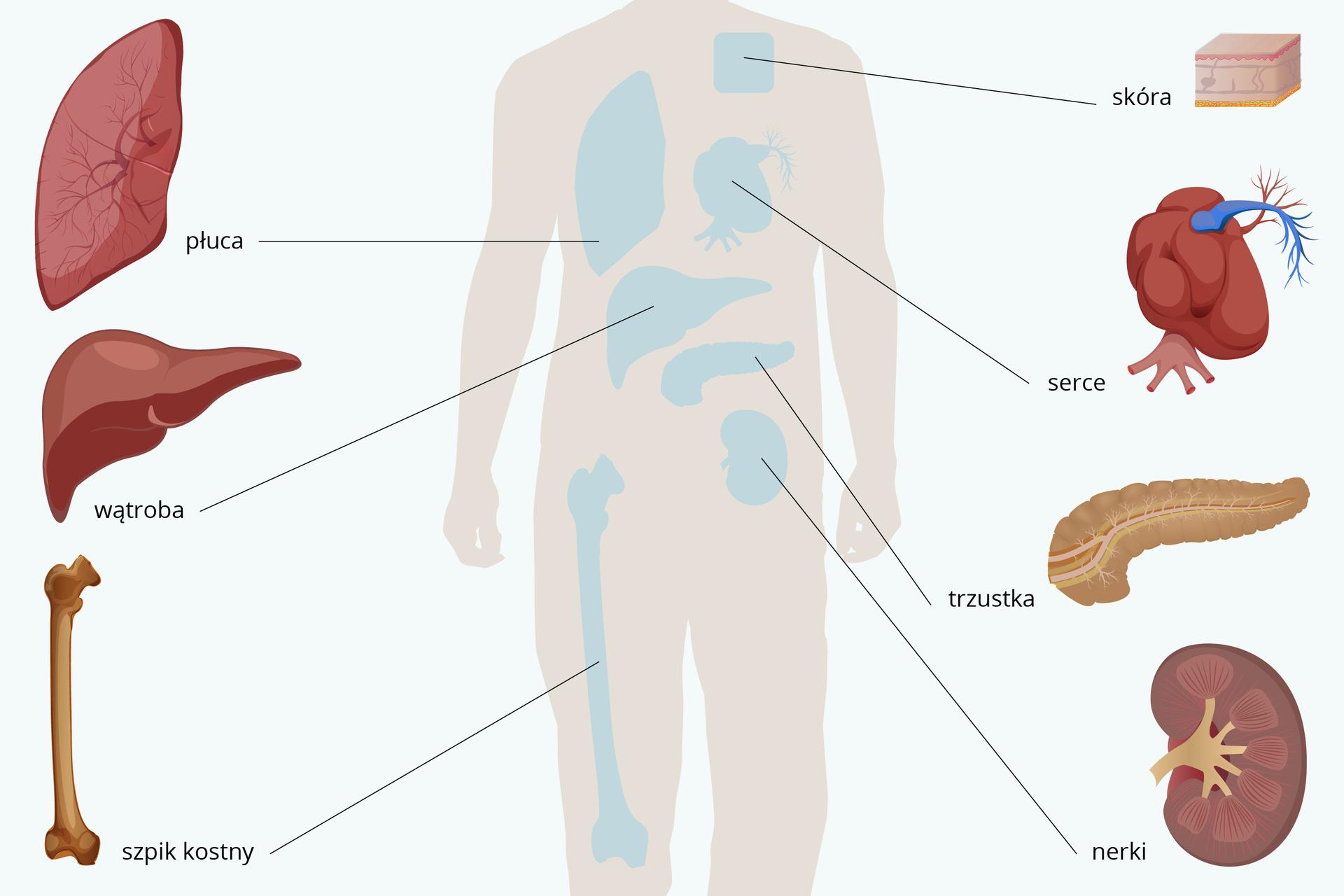Ilustracja przedstawia fragment liliowej sylwetki człowieka zlokalizacją najczęściej przeszczepianych narządów. Są one wyraźniej ukazane obok sylwetki ipodpisane.