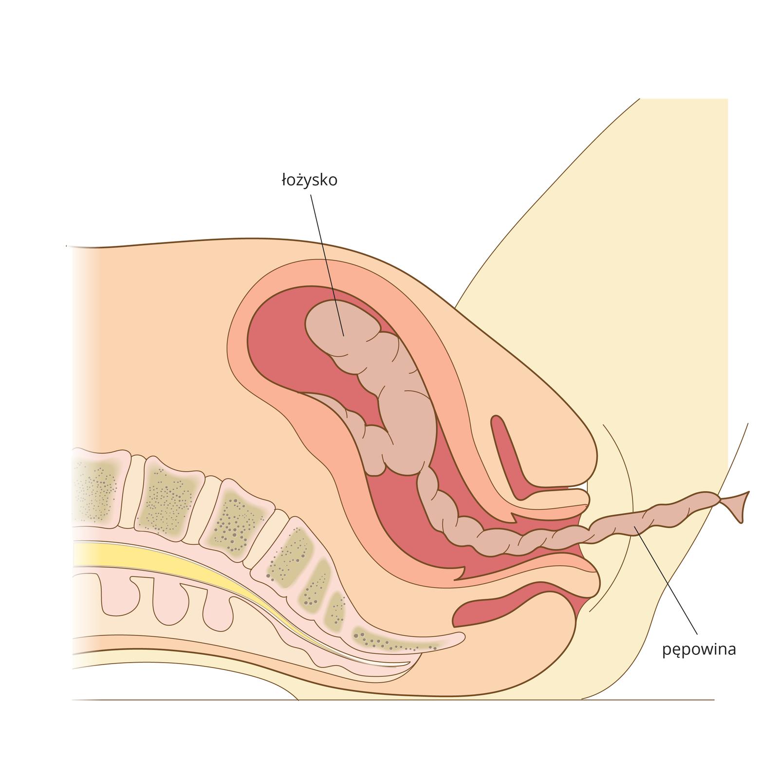 Ilustracja przedstawia ostatnią fazę porodu. Dziecko jest już na świecie, wmacicy oddziela się łożysko. Urodzenie łożyska kończy poród. Widoczna jest również pępowina.